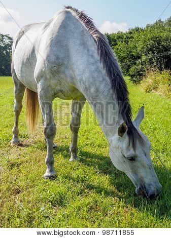 Closeup Portrait Of White Horse