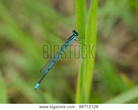 Blue Damselfly On Strand Of Grass