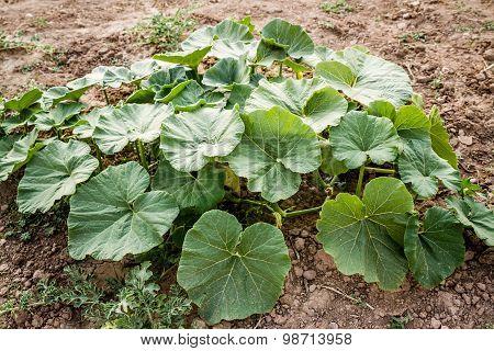 Green Pumpkin Leaves Growing