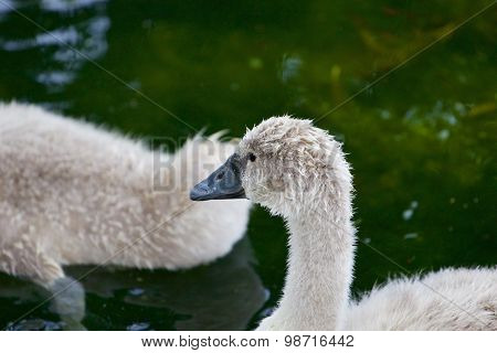 The Young Mute Swan