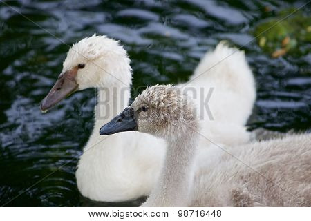 A Beautiful Pair Of The Young Swans