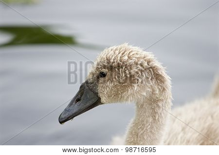Very Beautiful Portrait Of The Young Swan
