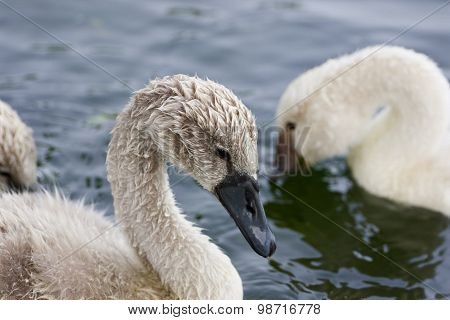 The Young Swans In The Lake