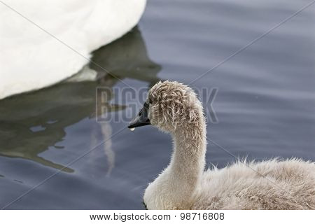 The Young Swan Is Looking At His Parents