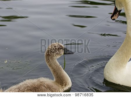 The Young Swan And His Parents