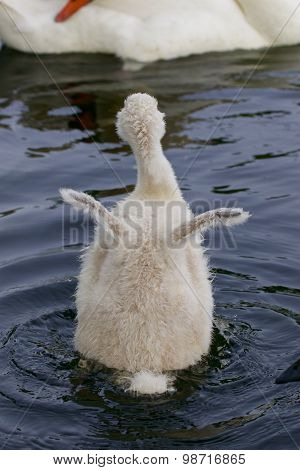 The Cute Young Swan Is Trying To Take Off