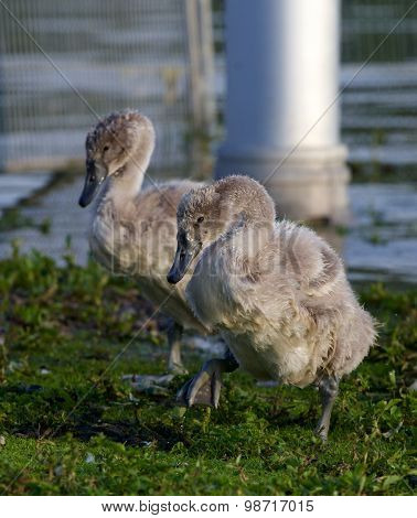 Two Young Mute Swans