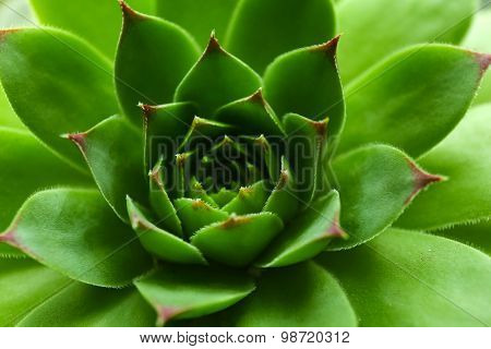 Beautiful succulent plant close up