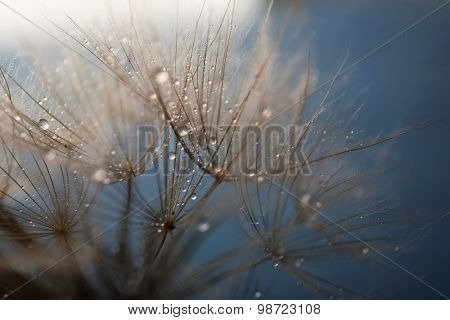 Beautiful dandelion with water drops on gray background