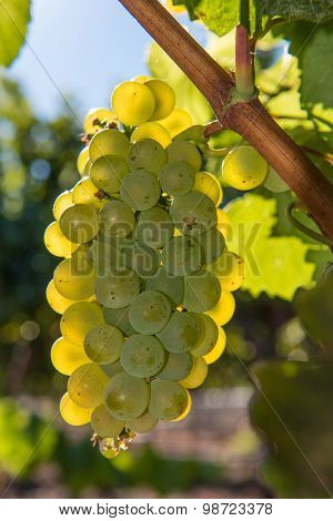Close-up Of Wine Grapes Growing On The Vine