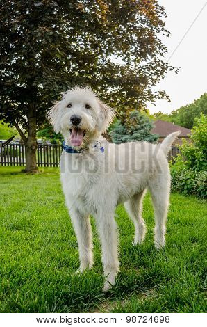 Shaggy White Labradoodle