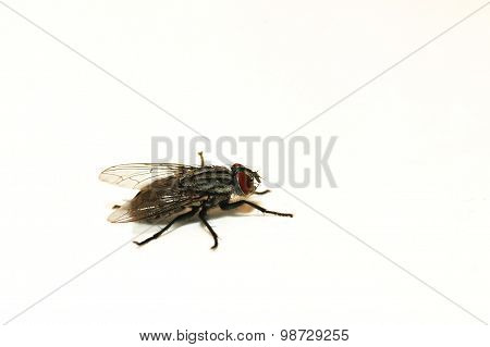 A profile of a fly on a white background