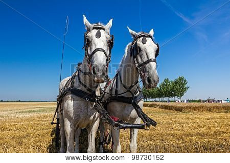 Two Draft Horses In Straw
