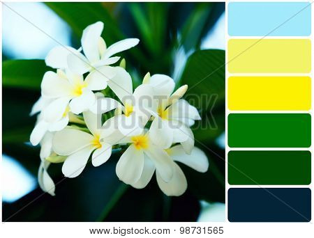 Plumeria flowers over green leaves and palette of colors