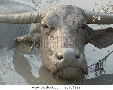 Water Buffalo Wallowing In A Mud Hole In Asia - Closer