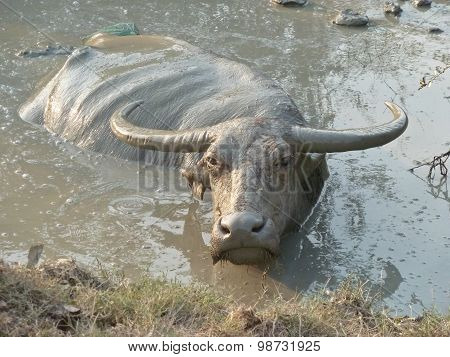Water Buffalo Wallowing In A Mud Hole In Asia - Medium