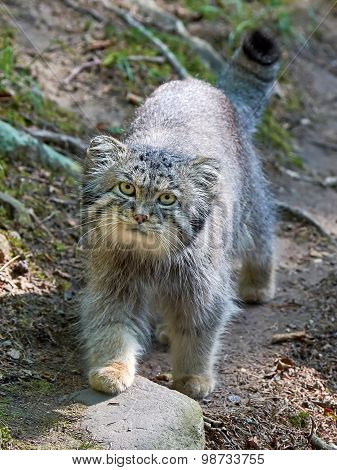 Pallas's Cat (otocolobus Manul)