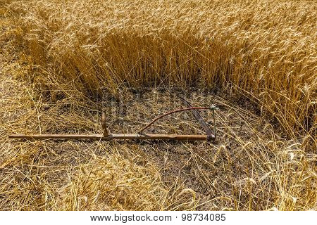 Mown Grain Is Lying Down On The Ground.