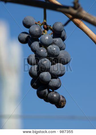 La uva perdida