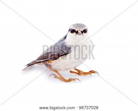 Nuthatch Sitta Europaea On A White Background