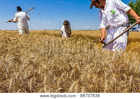 Team Of Reapers Are Cutting Wheat.