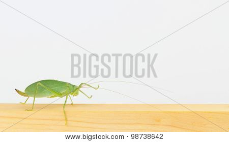 Close Up Side View Of Katydid