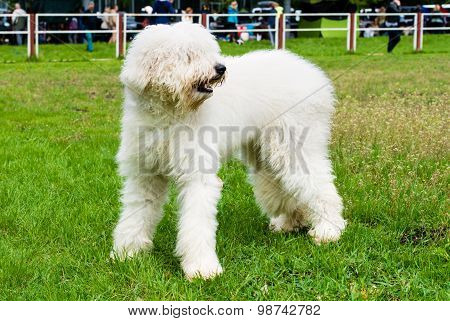 South Russian Sheepdog looks.