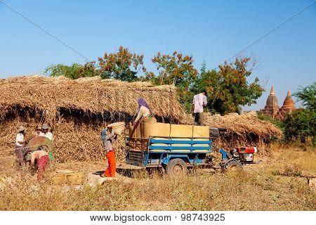 Working In The Field, Bagan, Myanmar