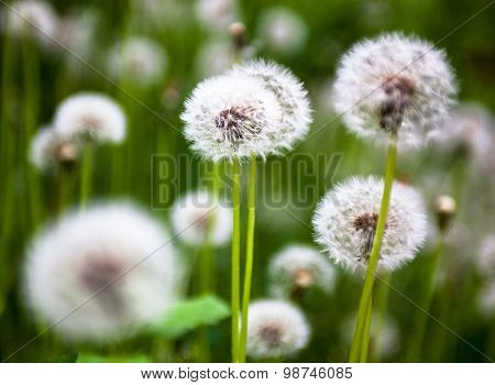 Dandelion Flowers With Globular Heads Of Seeds