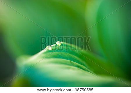 Dew Drops On Hosta Green Leaves