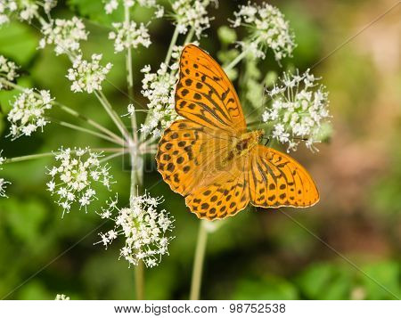 Orange And Black Butterfly Macro In A Grass