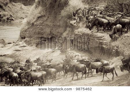 Wildebeest herd during the migration