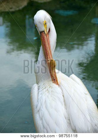 Pelican Head Closeup View