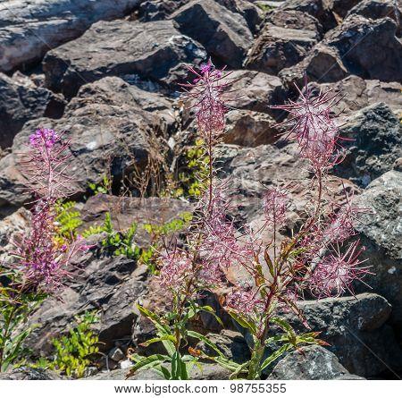 Red Flowers In Rocks