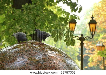 Two Funny Doves Drink Water From Round Fountain