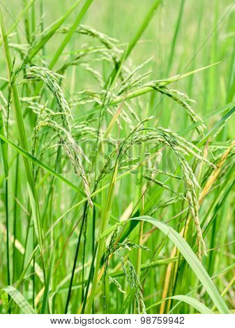 Harvest Rice At Paddy Rice Field  At The South Of Thailand  Side.