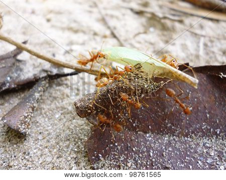 ants holding the leaf