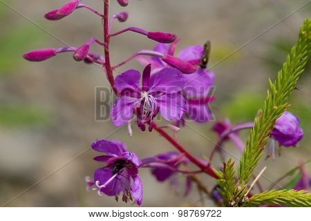 Purple Alpine Fireweed.  Blossoming sally bloom