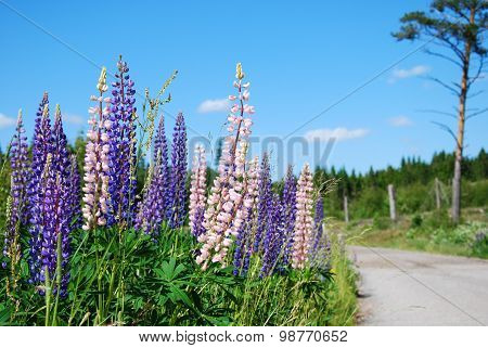 Lupines At Roadside