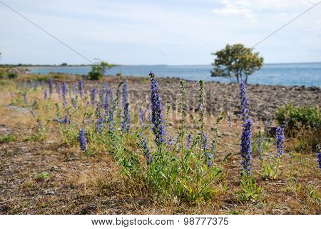 Coastal Blue-weed Flowers