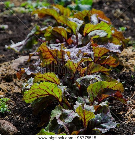 Beetroot Leaves In A Row