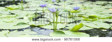 Violet Lotus Blossom
