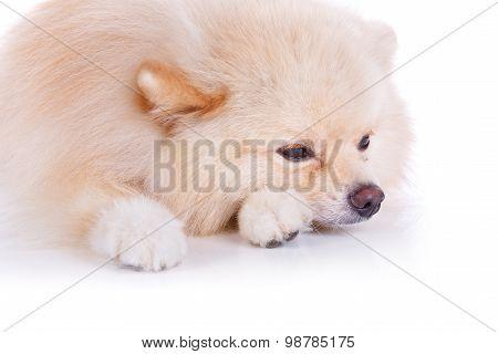 White Pomeranian Dog Sick