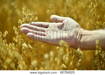 Male hand and golden wheat ears