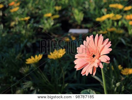 Gerbera Flower Blooming