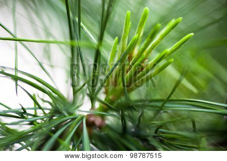 Young Light Green Pine Needles