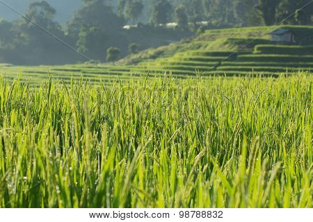 Green Paddy Rice Fields Of Agriculture Plantation
