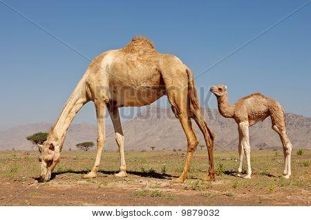 Camel and Calf
