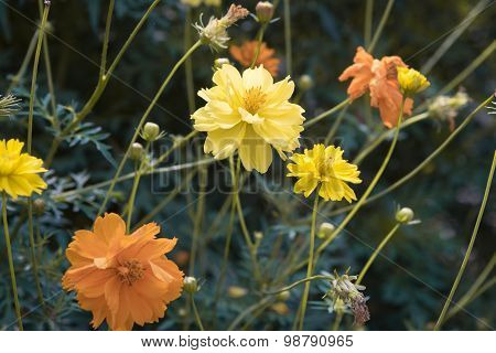 yellow cosmos flower close up.