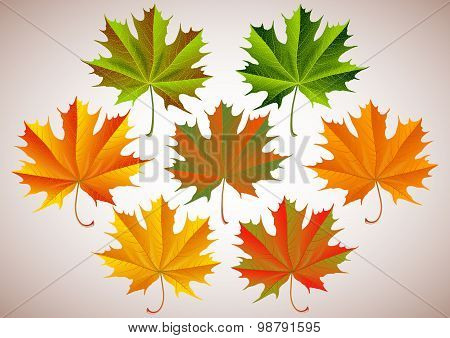 Maple Leaves Collection